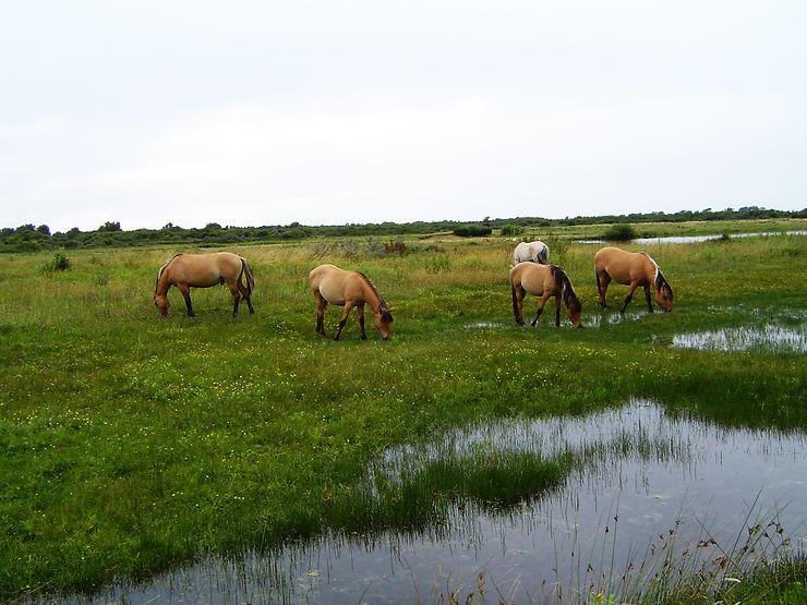 Le marais du Crotoy et ses drôles de chevaux - Somme (Picardie)