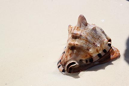 Coquillage sur la plage du Cayo de Guillermo