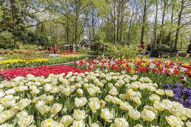 La tulipe et la Hollande : une histoire d'amour