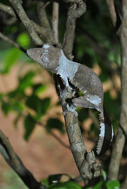 Gecko gris des buissons