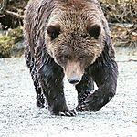 Ours brun à Katmai national park