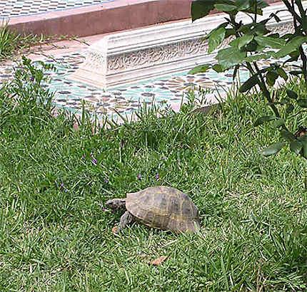 Tortue dans le jardin des tombeaus des Saadiens de Marrakech