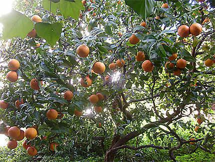 Orangers Côte d'Azur