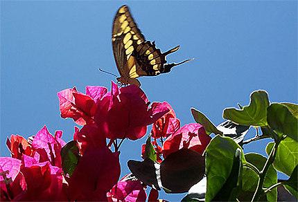 Joli papillon à cacha pregos