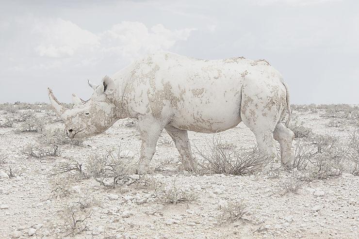 Rhinocéros à Etosha, Namibie