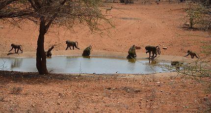 Babouins en train de boire