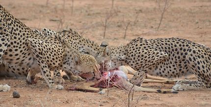 Repas de guépards