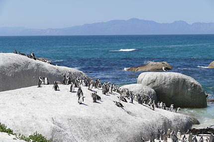 Colonie de pingouins à Simon's Town, Afrique