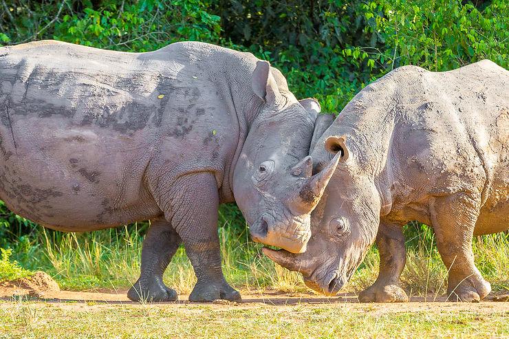 Couple de rhinocéros