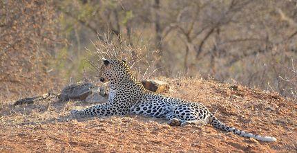 Léopard à Samburu