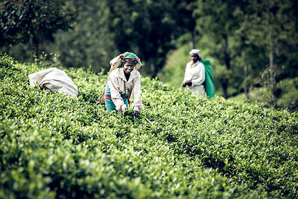 Tea leaf picker, Haputale, Sri Lanka