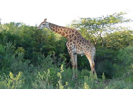 Déjeuner d'une des girafes, parc de Kruger