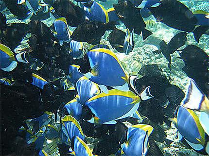 Au milieu d'un banc de poissons chirugiens
