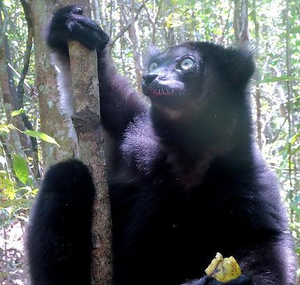 Lémurien Indri