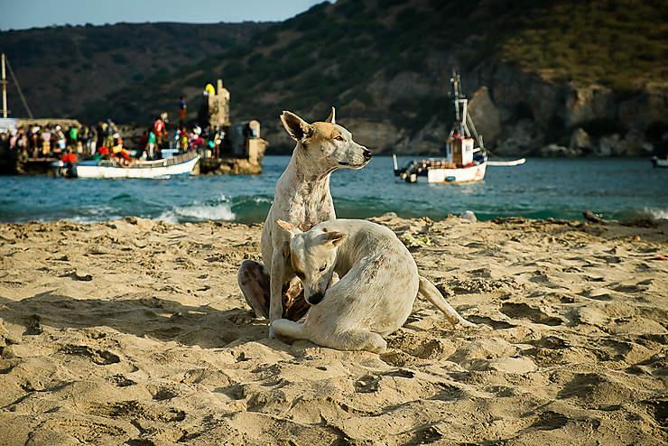 Les chiens jaunes de Tarrafal (Île de Santiago)