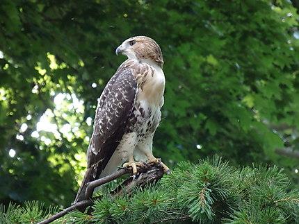 Faucon pèlerin à Central Park