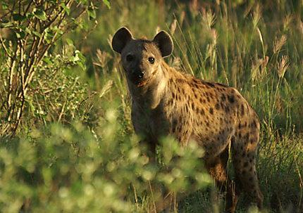Elle est belle, la hyène