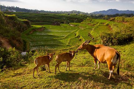 Bovins et rizières en terrasse