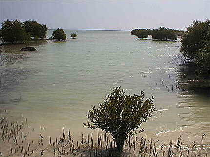 La mangrove d'Al Takhira