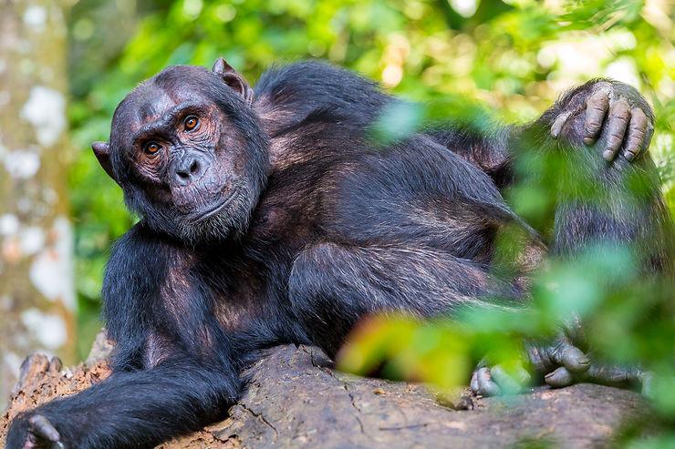 Chimpanzé au parc de Kibale