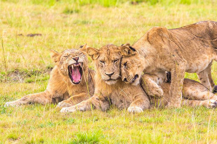 Trendresse entre lionceaux