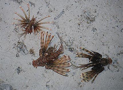 Poissons scorpion
