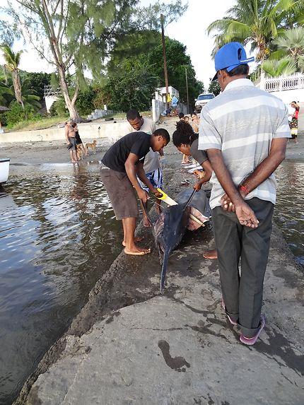 Surprenant marlin sur la jetée des Tamarins