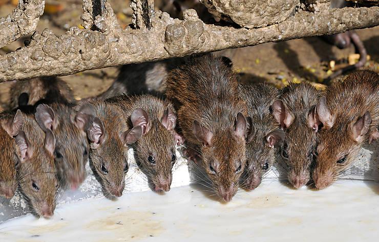 Des rats, en veux-tu en voilà