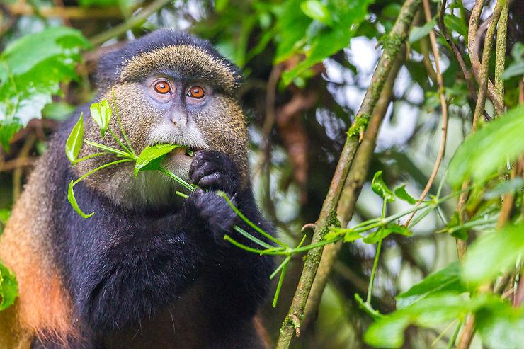 Singe doré au parc national des gorilles de Mgahinga