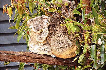 Maman et bébé koala