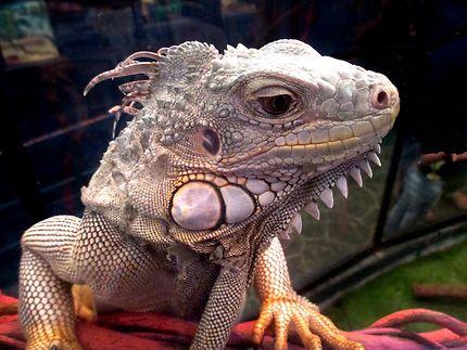 Iguane à Underwater World Pattaya (aquarium)