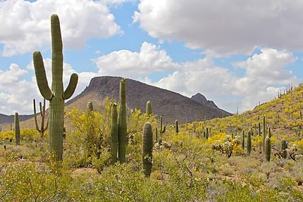 Au royaume du Saguaro
