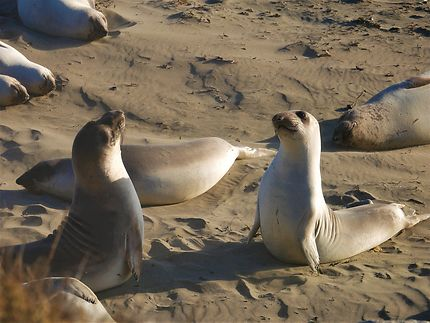 Elephant Seal, Vista Point