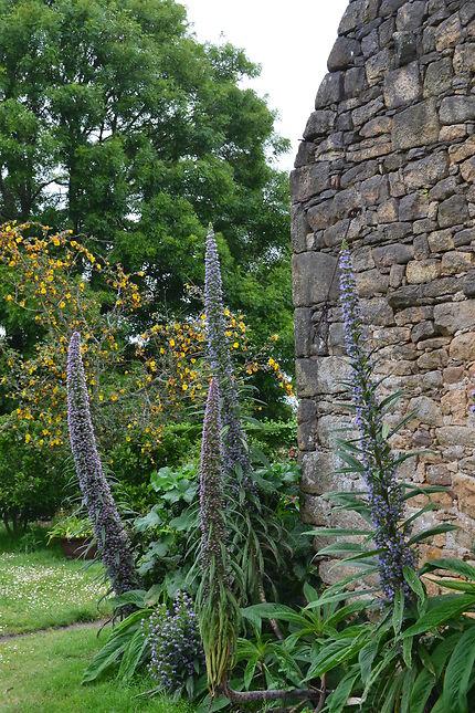 Echium Pininana Sur l'Île aux Moines