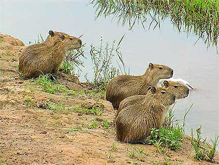 Jeunes capybaras