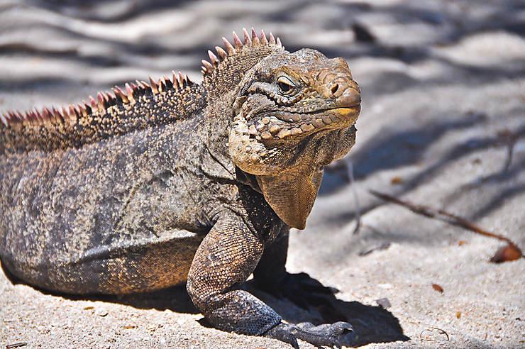 Iguane sur la plage