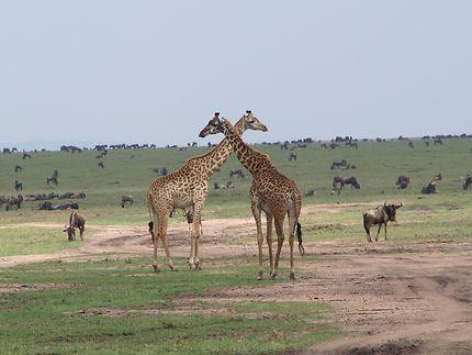 Duo de girafes