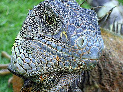Iguane en liberté dans un parc à Guayaquil