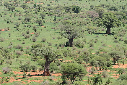 Baobab au parc de Tarangire