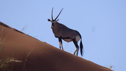 Oryx dans le désert