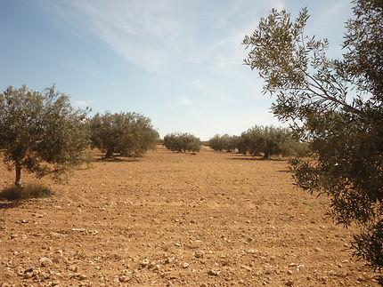 Des champs et champs d'oliviers à Djerba