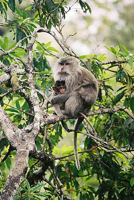 Macaques a Longue Queue