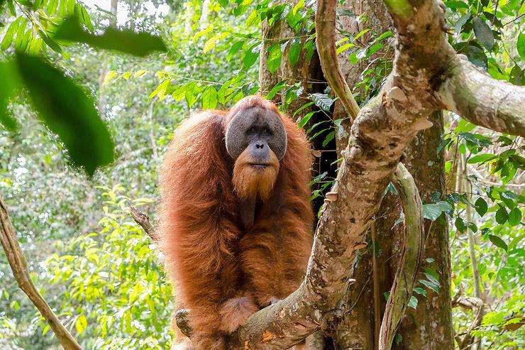 Sumatra, côté nord : au pays des orangs-outans