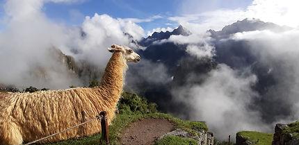 Lama au-dessus du Machu Picchu