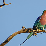 Rollier multicolore