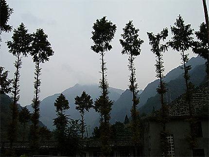 Vision fantasmagorique de séquoias de l'aube...à l'aube