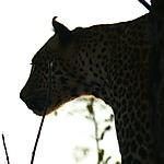 Léopard à Elephant plain lodge