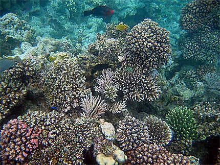 Coraux et poissons