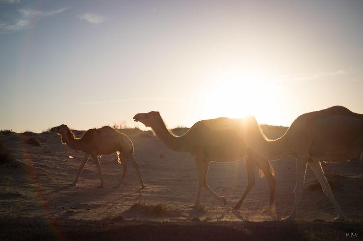 Les portes du sud tunisien s'ouvrent au rythme des dromadaires