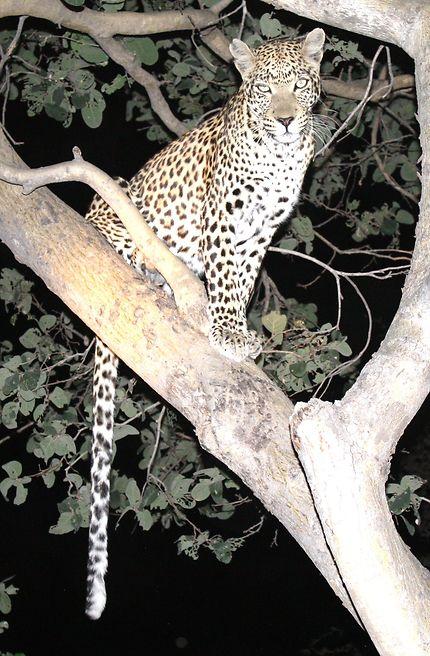 Dépité, léopard au Botswana
